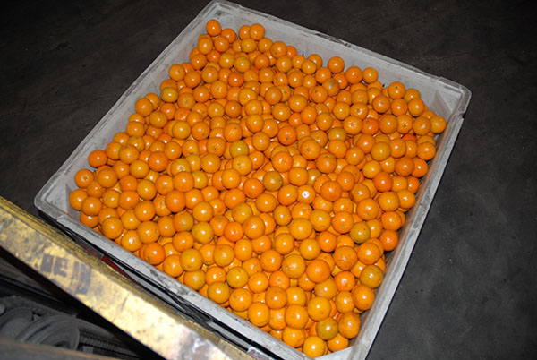 Citrus Packing_2